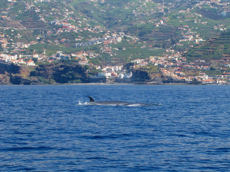 bryde's whale swimming at madeira shore with young calf