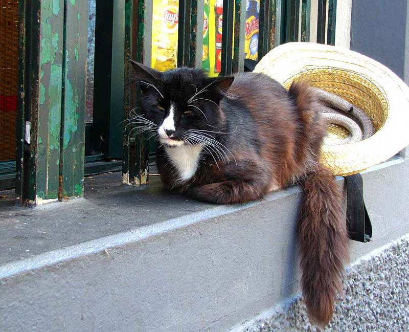 cats of Madeira cat with hat