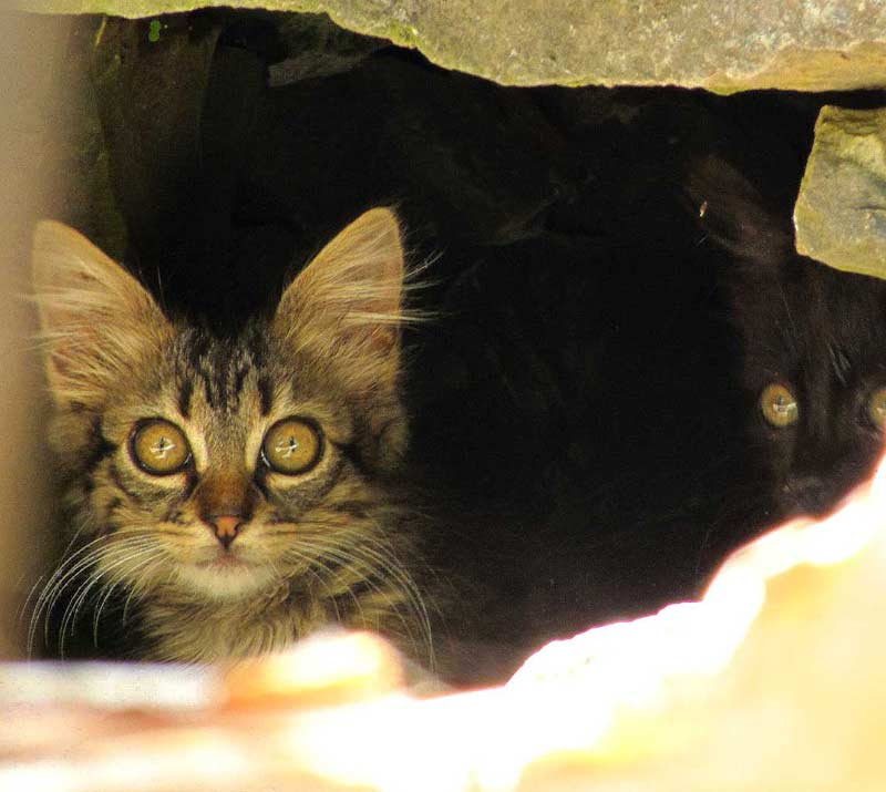 cats of Madeira kittens hiding under rock