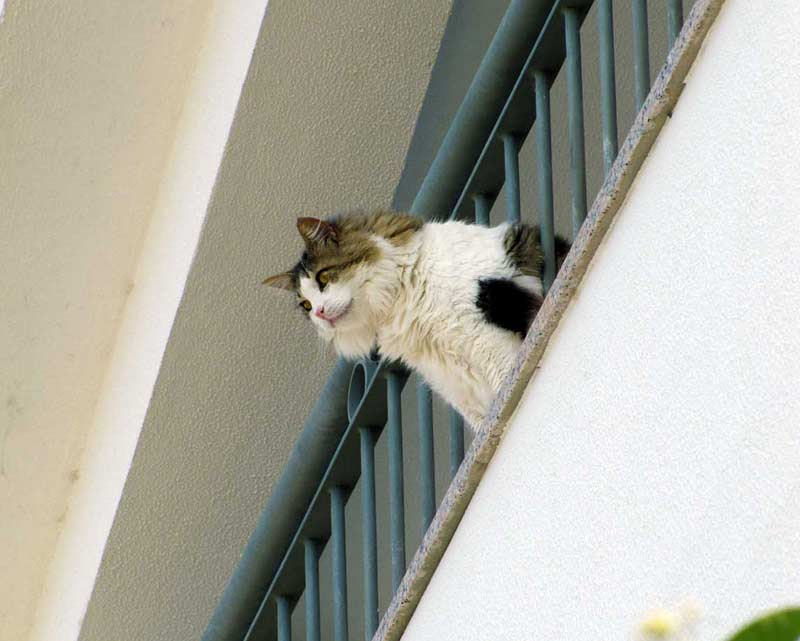 cats of Madeira cat looking down from balcony