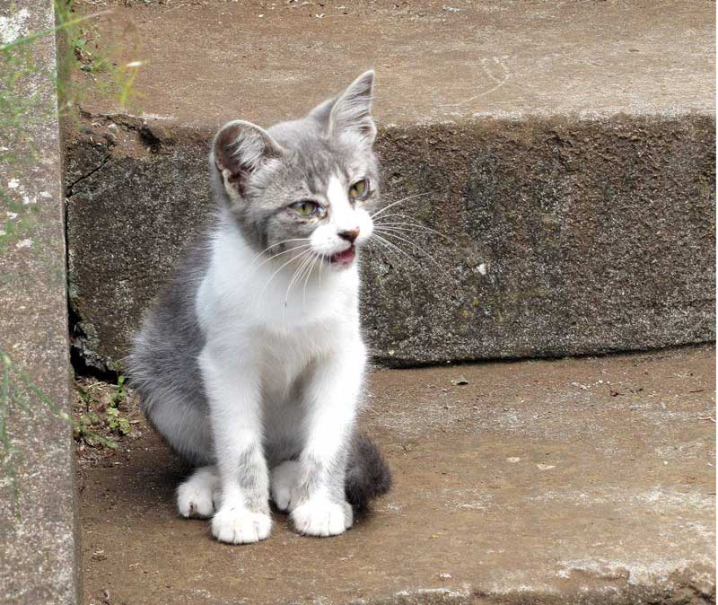 cats of Madeira cat sitting on stairs