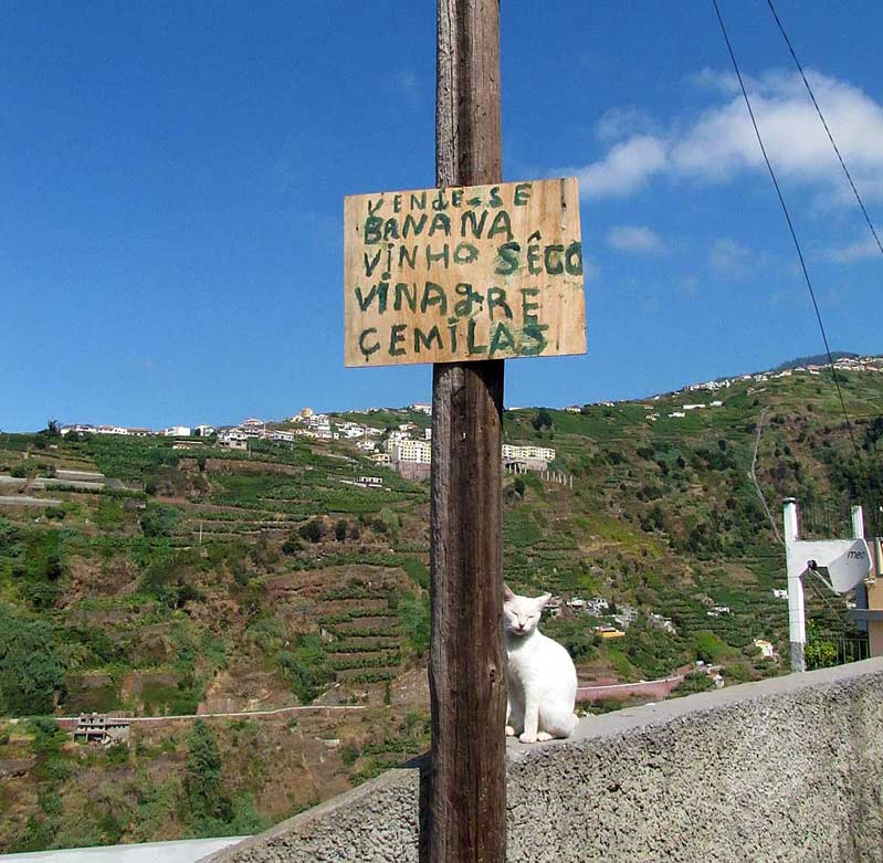 cats of Madeira white cat