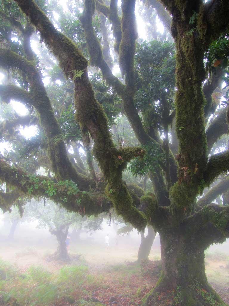 fanal walking trail old tree in the mis